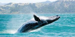 La balenottera azzurra, l'animale più grande al mondo a un passo dell'estinzione