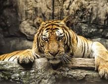 Tigre la regina della giungla