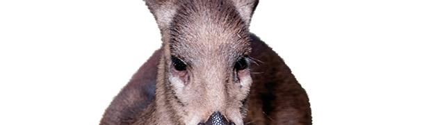 Il cervo dal ciuffo: un animale misterioso con le zanne da vampiro