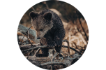 orso bruno
