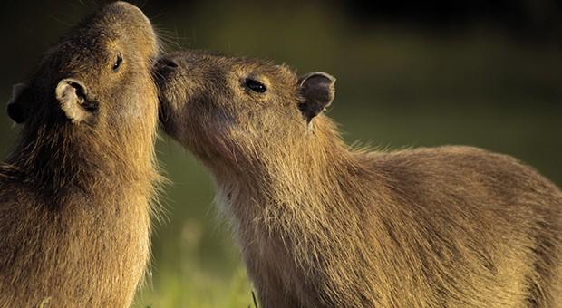 Capybara