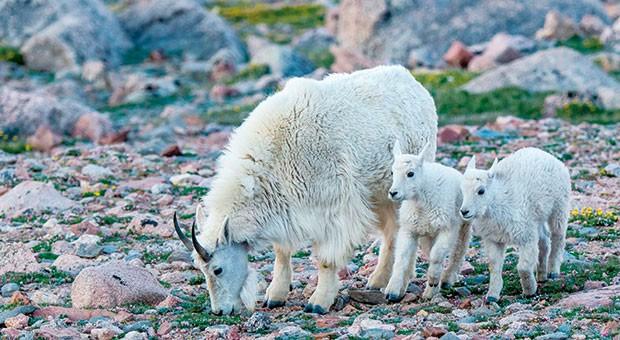 La capra delle nevi