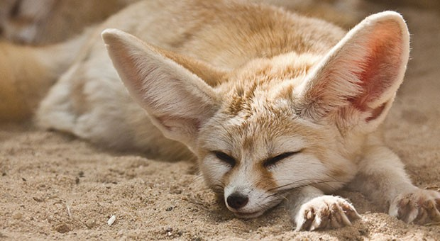 Fennec: a small fox with large ears which lives in North Africa
