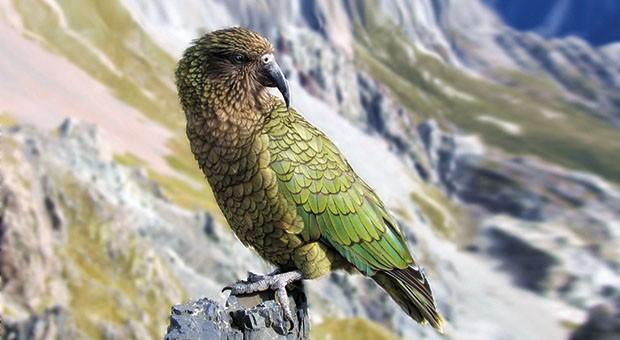 Il cacapò. Sull'orlo dell'estinzione uno dei pappagalli più longevi al mondo