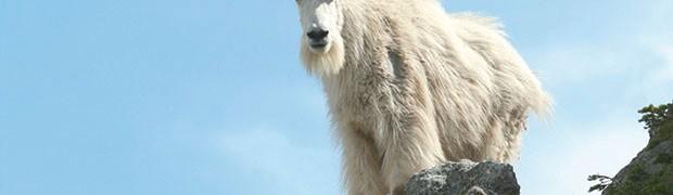 La capra delle nevi. Medaglia d'oro di rampicata