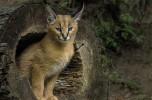 La fierezza fatta felino: il caracal