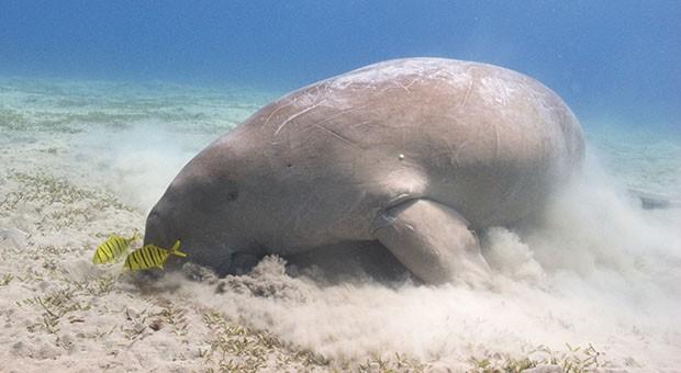 """Il dugongo, la """"mucca dei mari"""""""